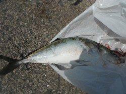 【23日】和歌山北港魚つり公園の青物釣果