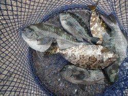 和歌山北港魚つり公園カゴ釣りでグレ・アイゴ、ほか青物の釣果も