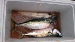 大サバが釣れている武庫川一文字へ なかなかの引きで楽しめました
