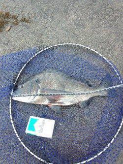 堺・一本松漁港 長潮の影響で苦戦もグレ・チヌ・ヘダイなどの釣果