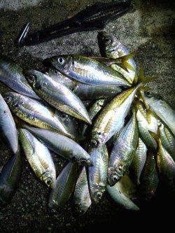 常夜灯効き出してから21時まで入れ食い、淡路島のアジングサイコーでした!!