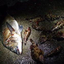 岩屋ライトフィッシング〜ワームを流すだけでガシラがガシガシ釣れました