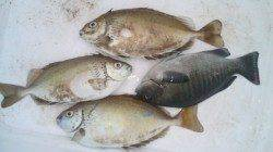 河口にてフカセ釣り〜本命のバリコ、ゲットできました!