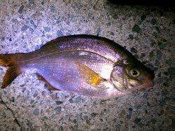 明石港にてウミタナゴ〜小物で遊ぼうと港内で探り釣り