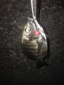 チニングでキビレ・チヌ・シーバスの釣果
