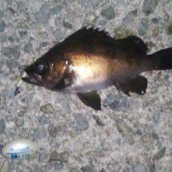大蔵海岸 メバリング釣行でメバル狙い フグもたくさんいるようです