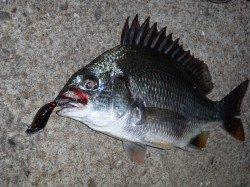 鳴尾浜釣り公園でのチニング釣果