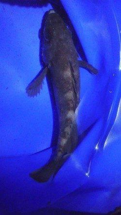小島 未明からのメバリング釣行もキャッチは1尾のみ