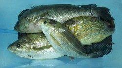 夜釣りでの釣果〜日置のカゴ釣りでイサギ・フエフキ