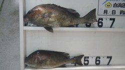 伊古木の地磯にてフカセ釣りでコロダイの釣果