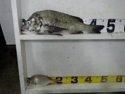 みなべ漁港にてフカセ釣り〜チヌとチャリコの釣果