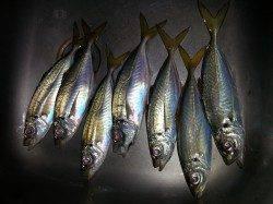 文里湾にてカゴ釣りでアジの釣果〜時合は短く30分間ほど