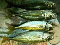 日置川沿いにてアジング〜メガアジは中々釣れません(^-^;