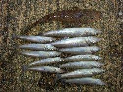 戎漁港 投げ釣りでキスの釣果
