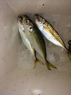 青岸でのサビキ釣行〜20cmのアジ短時間の回遊あり