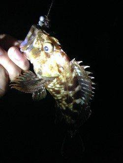 忠岡 アコウ狙い釣行もガシラ7尾の釣果
