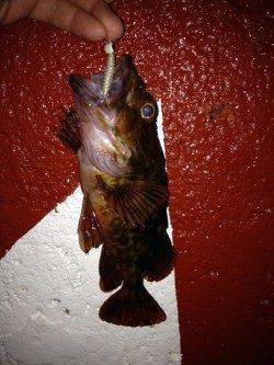 新浜漁港メバリング〜メバルとガシラの釣果