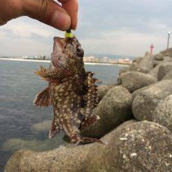 樽井漁港でガシラ一時間で9匹〜底に落としてワインドさせるとヒット