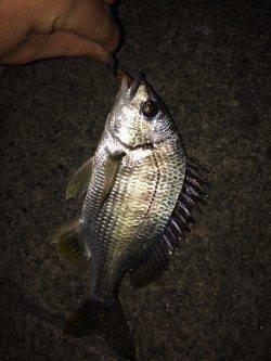 須磨周辺の河口 チニングでキス・キビレの釣果