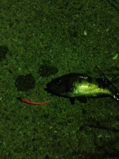 鳥取ノ荘にてアジング〜アジはあたらずメバルの釣果
