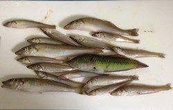 キス釣りで貝塚周辺をランガン〜数釣りできました