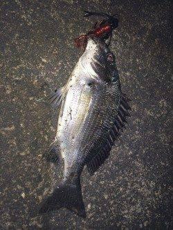 和歌川河口にてチニング〜濁りの中赤系のワームでキビレ・チヌ