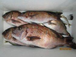 【3日】田井の海上釣り堀でのマダイ釣果