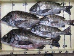 六本裏カセでチヌ〜47cmまでを5枚、久々に良型が釣れました