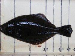 六本裏カセでヒラメ48cm エサはアケミ貝です