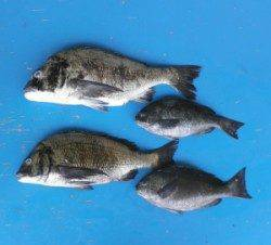 瀬崎の地磯 3人でチヌ46.6cm42.5cm2匹とグレ2匹の釣果