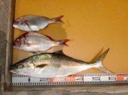 カゴ釣りでヒラマサ(^_^)/ 西肩での釣果