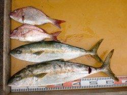 三尾の磯 カゴ釣りでヒラマサが2本(^_^)v