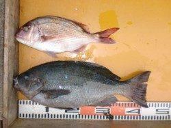 のこぎりでのカゴ釣りでグレ43cmにマダイの釣果