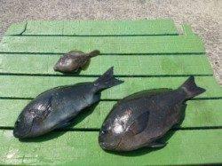 沖一文字内向き 紀州釣りでグレ44cm&39cm