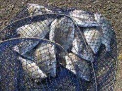 宮崎沖カセのチヌ釣果〜小型ですが二桁釣れました
