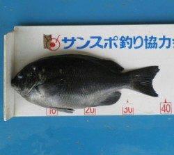 舞鶴田井の磯でグレ39cmの釣果