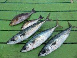 カゴ釣りではイサギとゴマサバ〜沖一文字外向きでの釣果