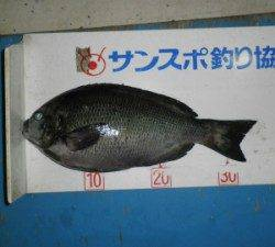 舞鶴田井の磯ではグレ35cmを頭に11匹の釣果