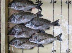 宮崎筏・宮崎沖カセでのチヌ釣果 良型ヒラメも出てます♪