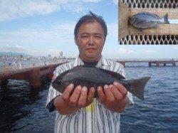 須磨海釣り公園 落とし込みでグレ30cm