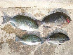 湯浅の磯のフカセでグレ25~37cm4尾