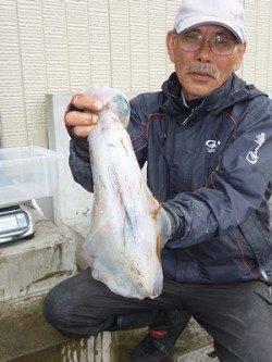 湯浅の磯 ウキ釣りで胴長35cmまでのアオリイカ3バイ
