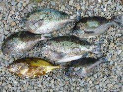 湯浅の磯でフカセ釣り、グレ25cm~33cm5枚