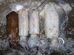 湯浅の磯ウキ釣りで2.45kgの大型アオリイカをゲット!