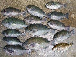 湯浅の磯 ヌカ切りでグレ13匹の釣果
