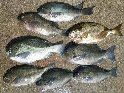 湯浅の磯フカセ釣り〜良型アイゴとグレの釣果
