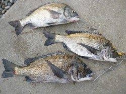 湯浅の磯 紀州釣りでチヌ3枚
