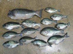 湯浅の磯で48cmの大型を頭に13枚の釣果
