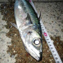 大蔵海岸ウキ釣りで大サバ〜時合いは20時~23時でした