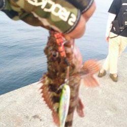沖堤防でガシラ好調、面白いくらいに釣れました